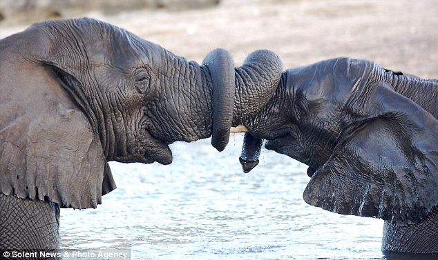 ELEPHANT LOVE – GREETING WITH ENTWINED TRUNKS