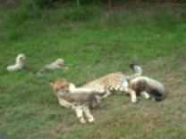 Cheetah mum and cubs