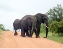 Elephants on road