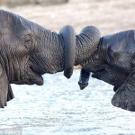 Elephants with trunks entwined in greeting